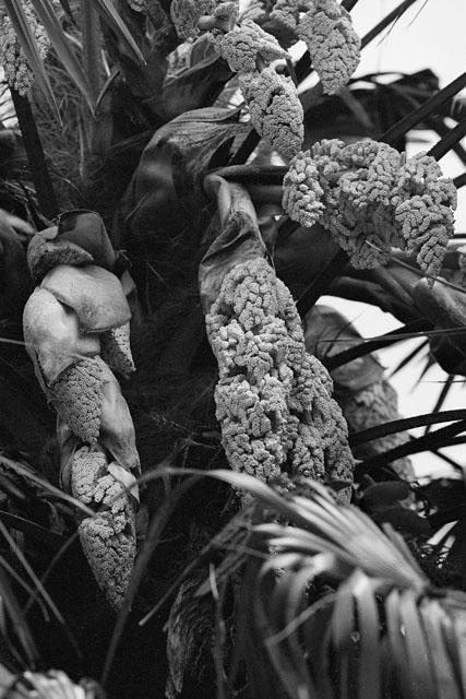 棕櫚の花_e0126186_2153081.jpg