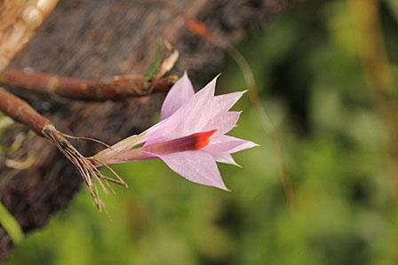 Den. hellwigianum;デンドロビューム ヘルウィギアナム_d0007501_1043236.jpg