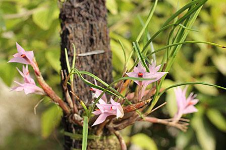 Den. hellwigianum;デンドロビューム ヘルウィギアナム_d0007501_1044044.jpg