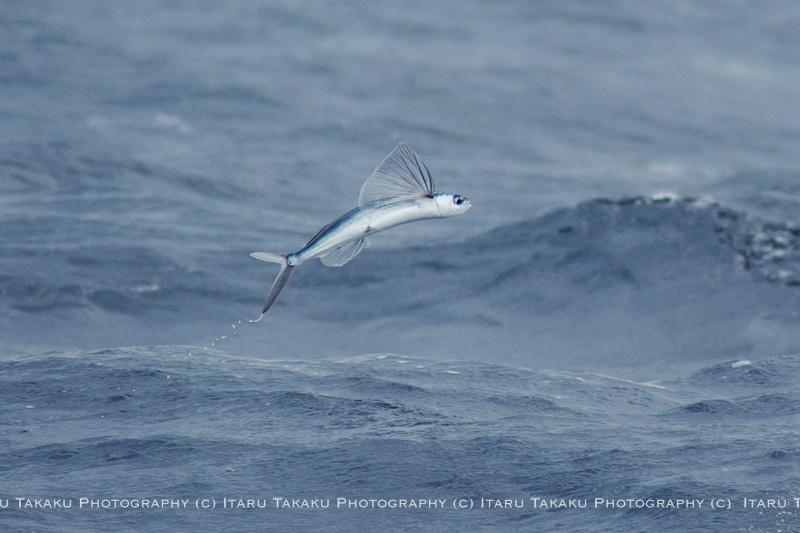 魚飛ぶ海!~トビウオ&トウザヨリ~_b0186442_1355341.jpg