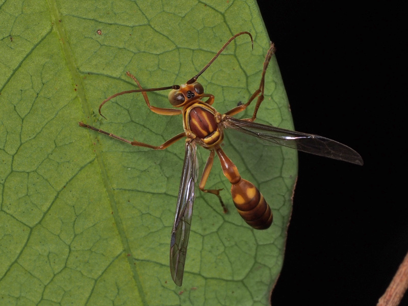 ヒメホソアシナガバチのオス ... : 物の数え方一覧 : すべての講義