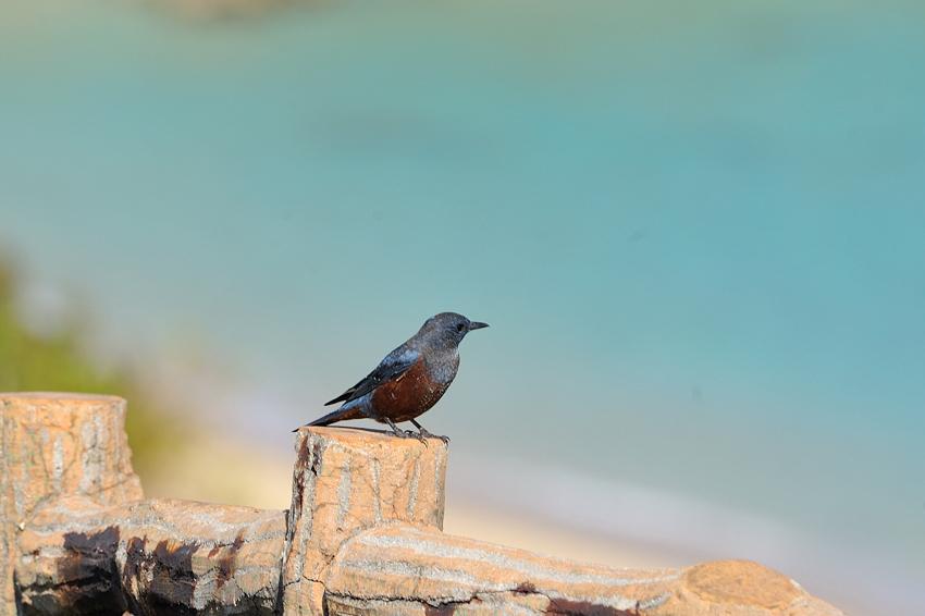 イソヒヨドリ(Blue Rock Thrush) ~2012.10/東平安名崎その2_b0148352_9533973.jpg