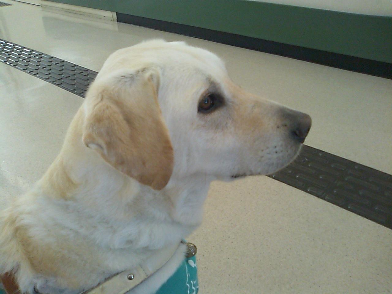 盲人福祉協会文化祭、盲導犬のエバァくん_e0068696_2040439.jpg