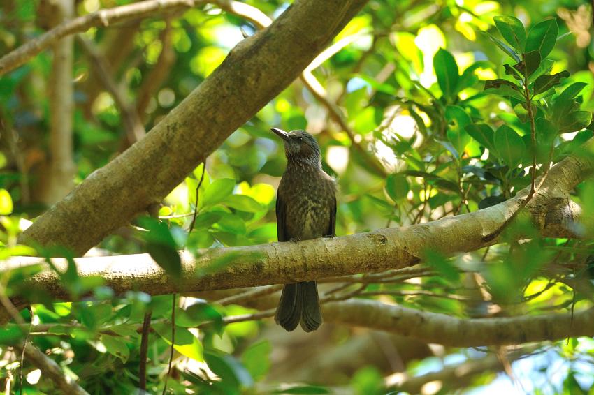 ズアカアオバト(Whistling Green Pigeon)〜2012.10_b0148352_11392290.jpg