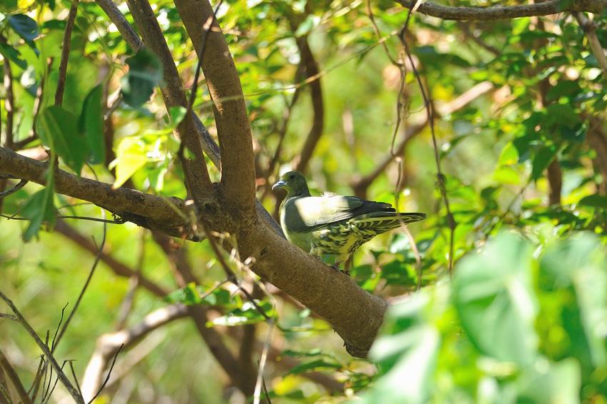 ズアカアオバト(Whistling Green Pigeon)〜2012.10_b0148352_1139421.jpg