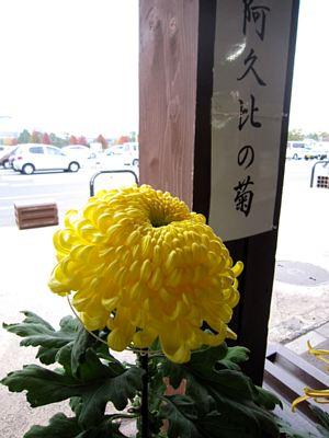 回廊に「阿久比町の菊」_c0141652_16463221.jpg