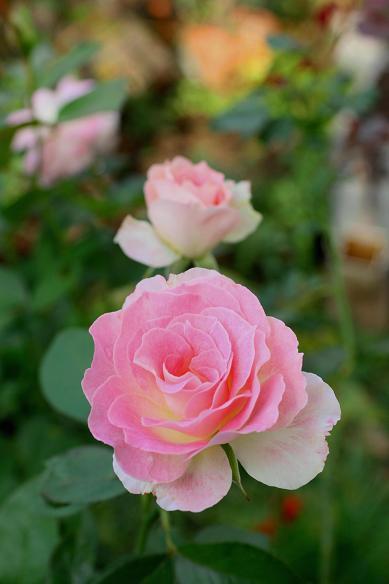 庭の秋バラ (続)_d0150720_11374342.jpg