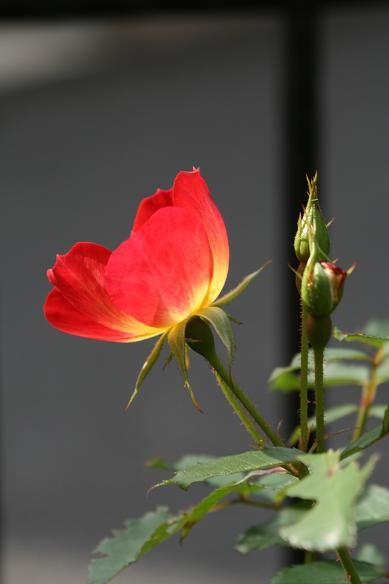 庭の秋バラ (続)_d0150720_11375825.jpg