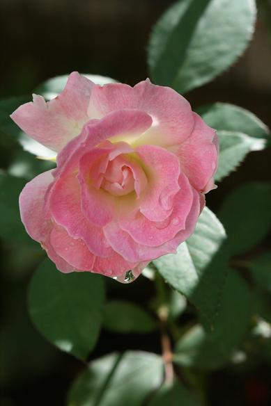庭の秋バラ (続)_d0150720_1137745.jpg