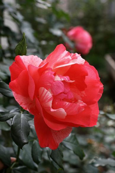 庭の秋バラ (続)_d0150720_11381575.jpg