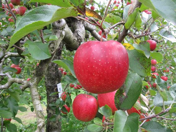 リンゴの画像 p1_21