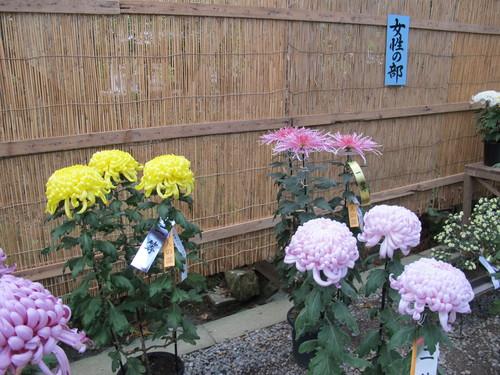 弥彦神社菊祭り・新潟県菊花展覧会(14)_c0075701_7361448.jpg