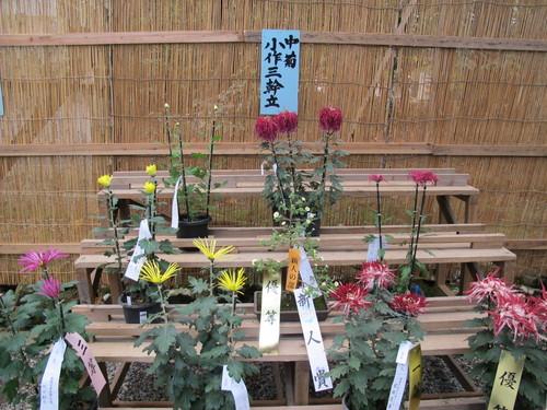 弥彦神社菊祭り・新潟県菊花展覧会(14)_c0075701_7361722.jpg