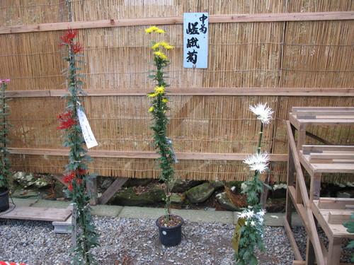 弥彦神社菊祭り・新潟県菊花展覧会(14)_c0075701_7361959.jpg