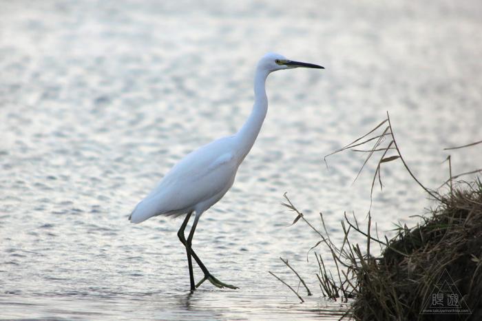 280 米子水鳥公園 ~オナガガモ激写~_c0211532_23524475.jpg