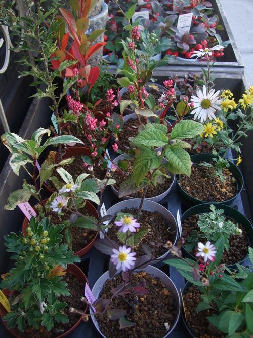 オークリーフ(市川バラ園の花たち)_f0049672_17401879.jpg