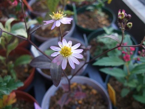 オークリーフ(市川バラ園の花たち)_f0049672_1740857.jpg
