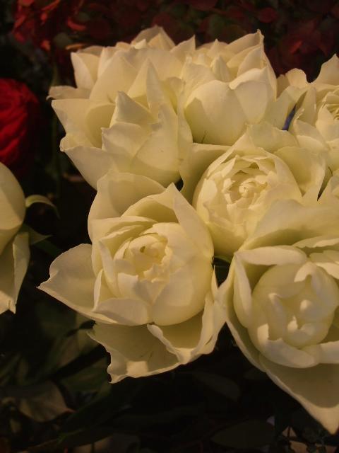 オークリーフ(市川バラ園の花たち)_f0049672_1742977.jpg