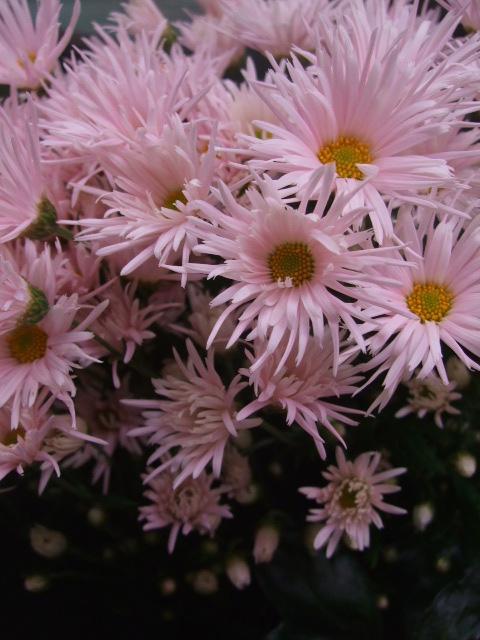 オークリーフ(市川バラ園の花たち)_f0049672_17563336.jpg