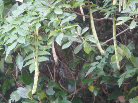 うみべの森を育てる会:定例植物観察 in せんなん里海公園_c0108460_21244970.jpg