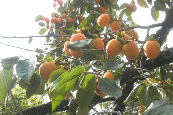 豊作の市田柿収穫 医者知らずの果物 _d0109415_20285852.jpg