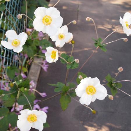 秋明菊(シュウメイギク)を花瓶に_a0292194_1694458.jpg