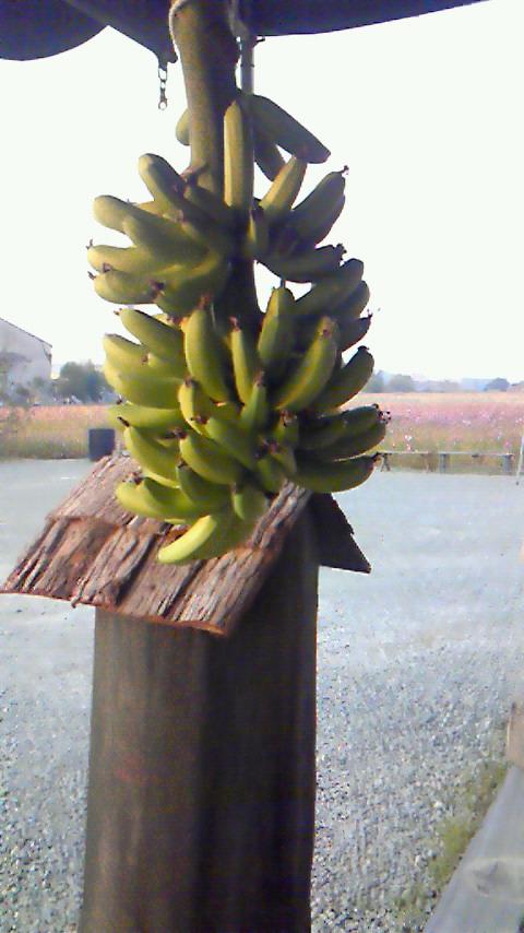 バナナ_f0236594_163221.jpg