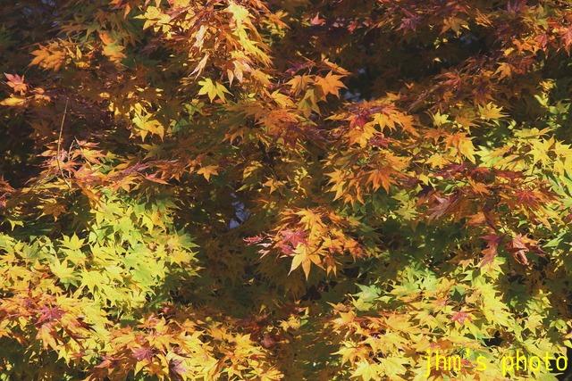 紅葉がいっぱい、おまけは秋の薔薇_a0158797_0503812.jpg
