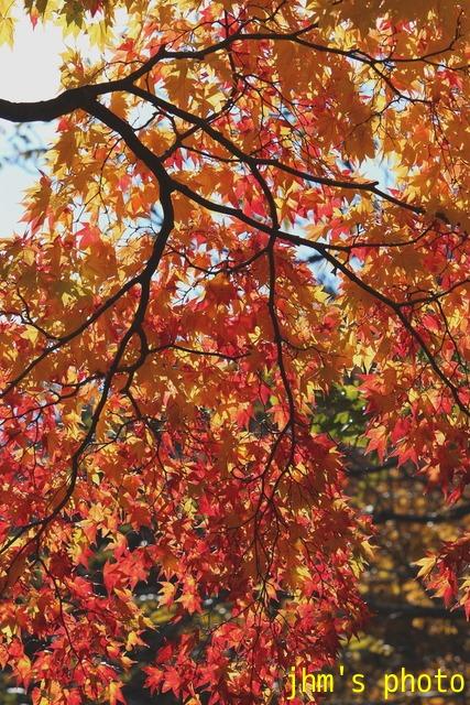 紅葉がいっぱい、おまけは秋の薔薇_a0158797_0574269.jpg
