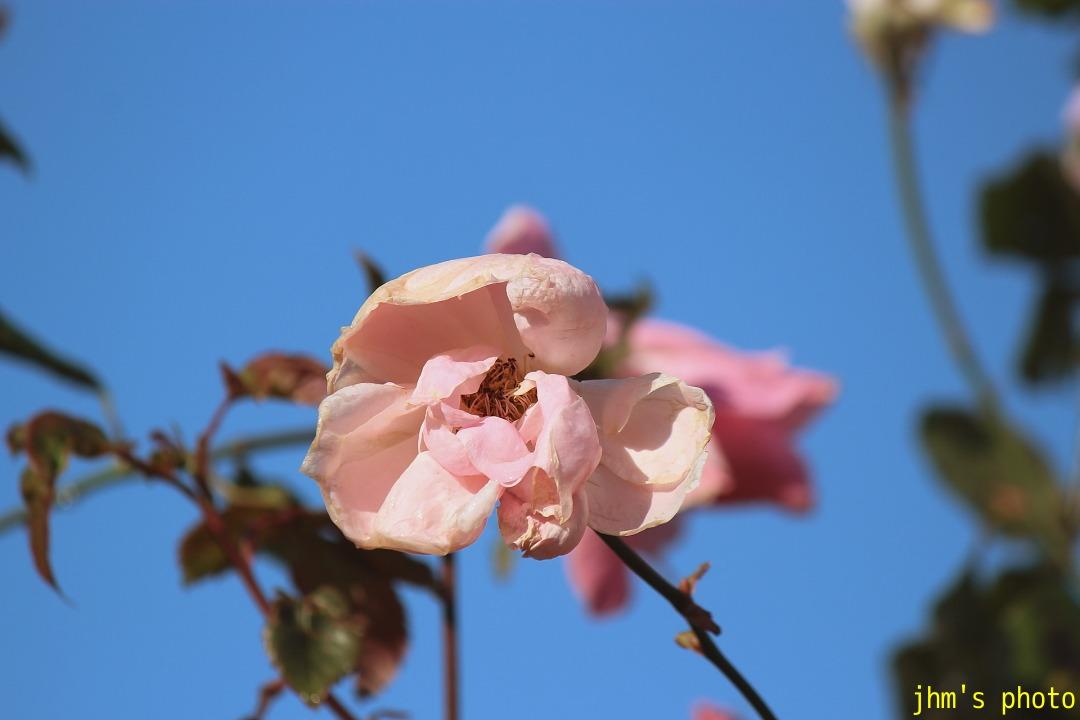 紅葉がいっぱい、おまけは秋の薔薇_a0158797_1103778.jpg