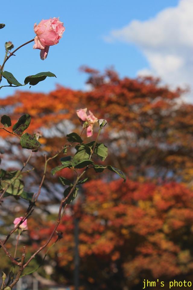 紅葉がいっぱい、おまけは秋の薔薇_a0158797_16464.jpg