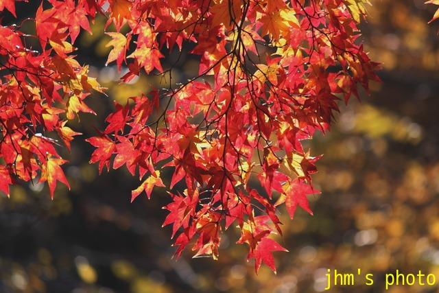 紅葉がいっぱい、おまけは秋の薔薇_a0158797_173691.jpg