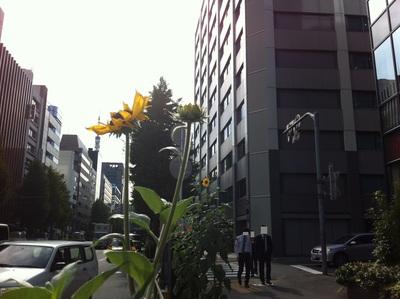 税務申告書はレターパックOKだけど、そして虎ノ門ヒマワリ開花_d0054704_1302484.jpg