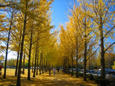 万博記念公園の銀杏並木_b0100229_12265020.jpg