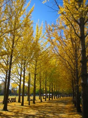 万博記念公園の銀杏並木_b0100229_12272524.jpg