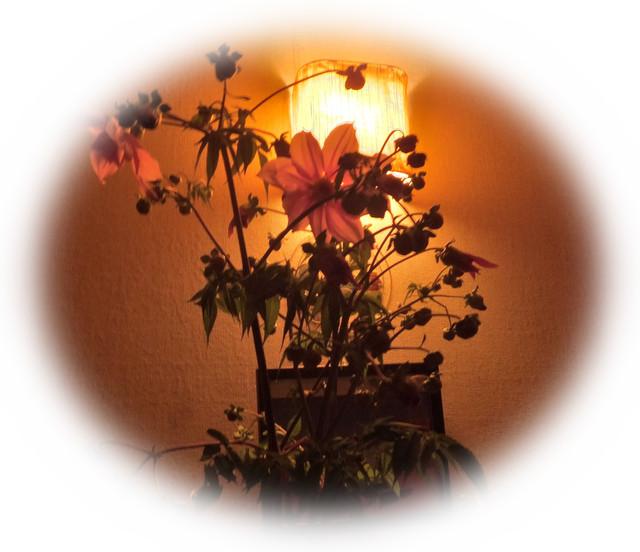 秋冬野菜の季節です...皇帝ダリアも咲きました。_b0137932_2233017.jpg