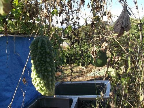 秋冬野菜の季節です...皇帝ダリアも咲きました。_b0137932_22342477.jpg