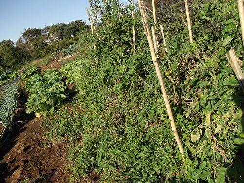 秋冬野菜の季節です...皇帝ダリアも咲きました。_b0137932_22344939.jpg