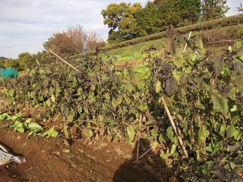 秋冬野菜の季節です...皇帝ダリアも咲きました。_b0137932_22361638.jpg