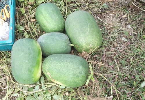 秋冬野菜の季節です...皇帝ダリアも咲きました。_b0137932_22373753.jpg