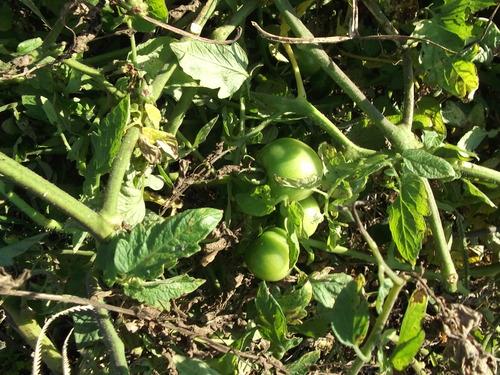 秋冬野菜の季節です...皇帝ダリアも咲きました。_b0137932_22463229.jpg