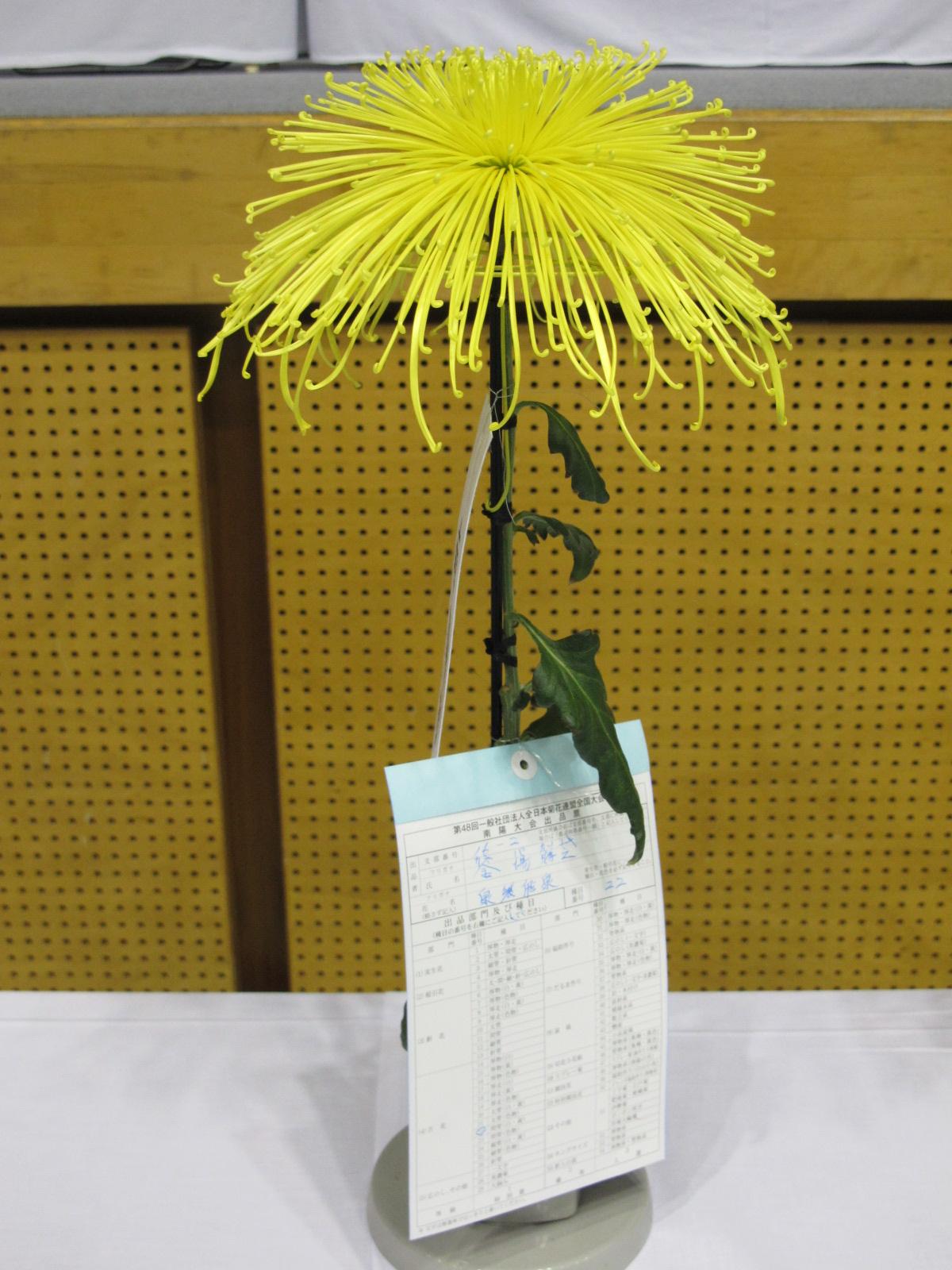 第100回 南陽の菊まつり展(10)_c0075701_1833322.jpg