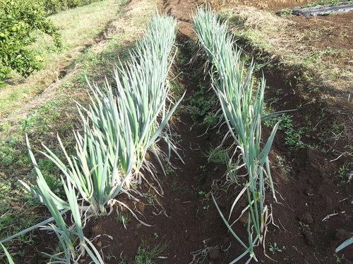 秋冬野菜の収穫...もうすぐ鍋の美味しい季節。_b0137932_1930979.jpg