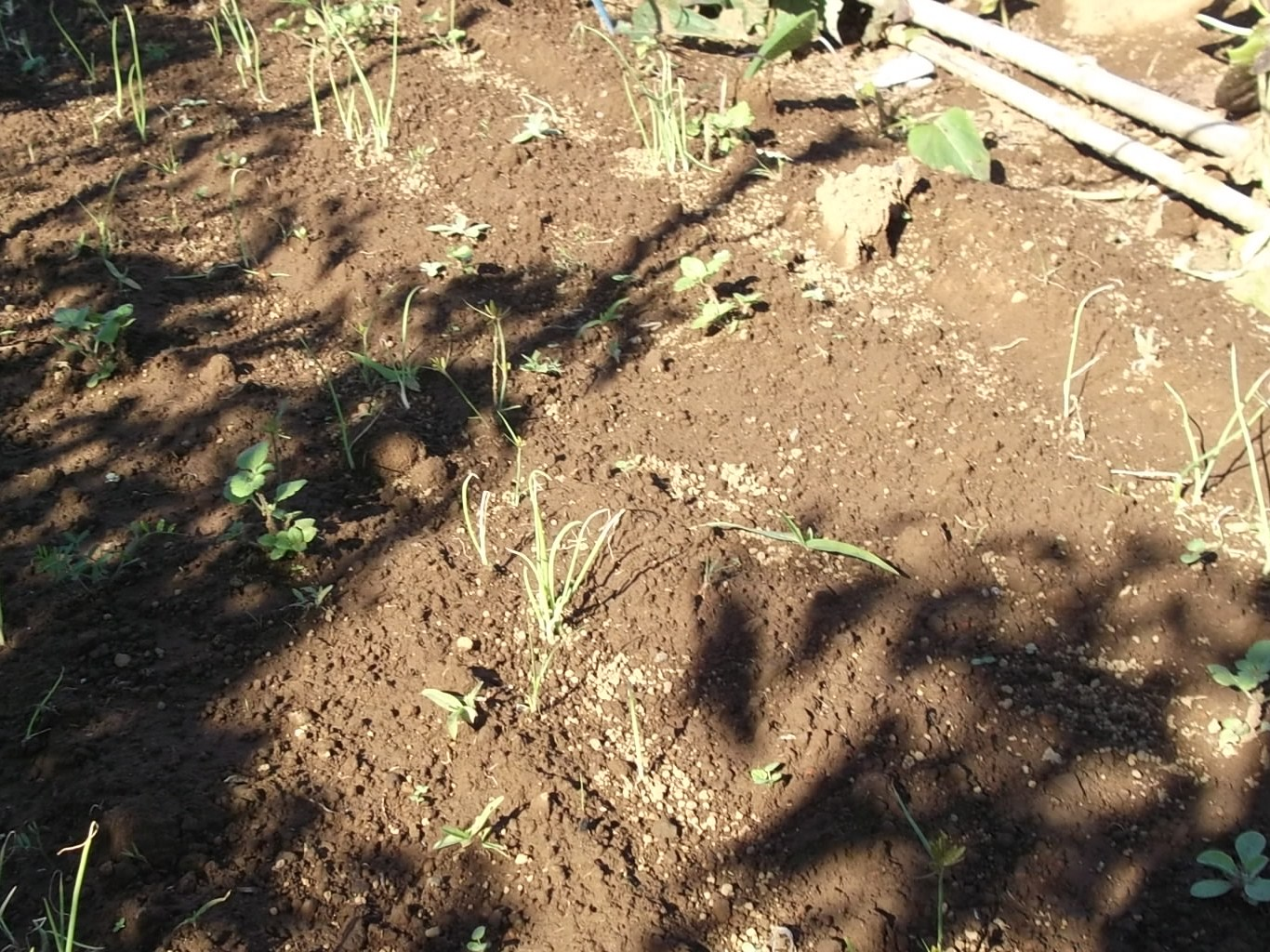 秋冬野菜の収穫...もうすぐ鍋の美味しい季節。_b0137932_19313325.jpg