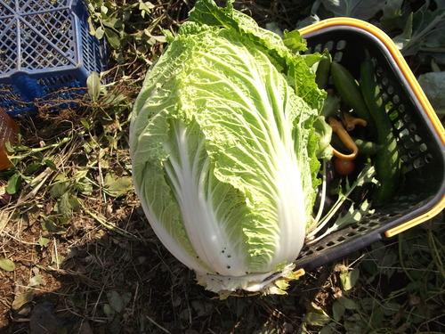秋冬野菜の収穫...もうすぐ鍋の美味しい季節。_b0137932_1972020.jpg