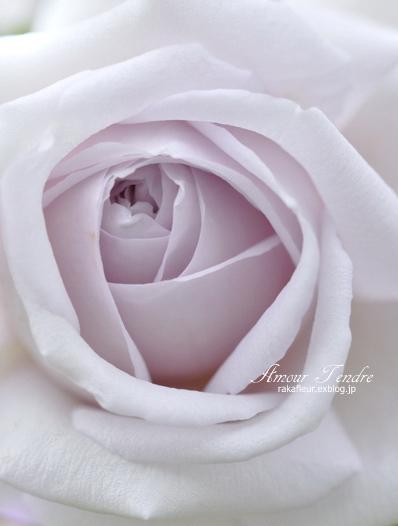 Rose SHINO_c0250634_18571124.jpg
