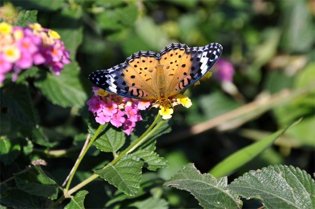 2012年11月の蝶_e0194952_8123480.jpg
