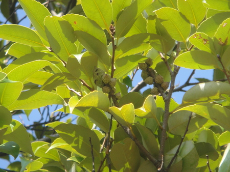 うみべの森を育てる会:定例植物観察 in せんなん里海公園_c0108460_19504858.jpg