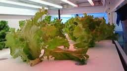 野菜工場試験栽培スタート_d0003224_11414893.jpg