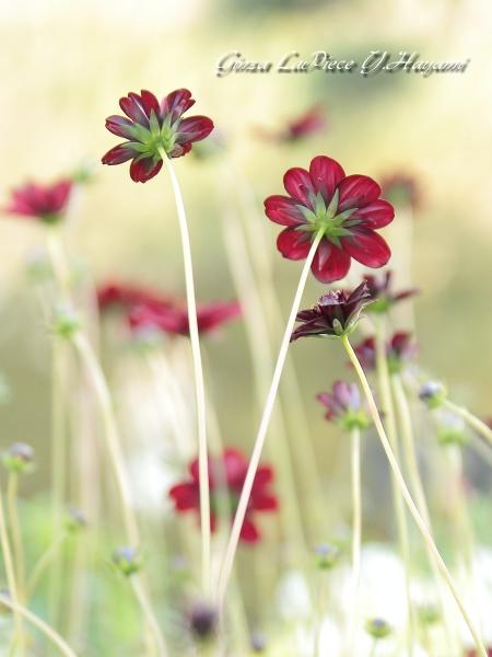 花のある風景 秋の花 チョコレートコスモス_b0133053_23555028.jpg